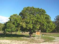 Watsonville ANZAC tree