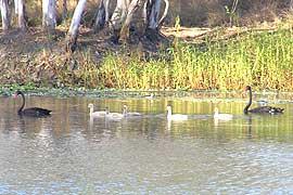 black swans at Irvingbank