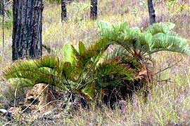 local cycad